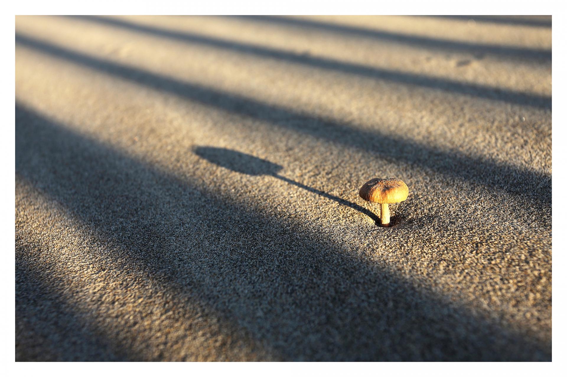 Champignon des sables