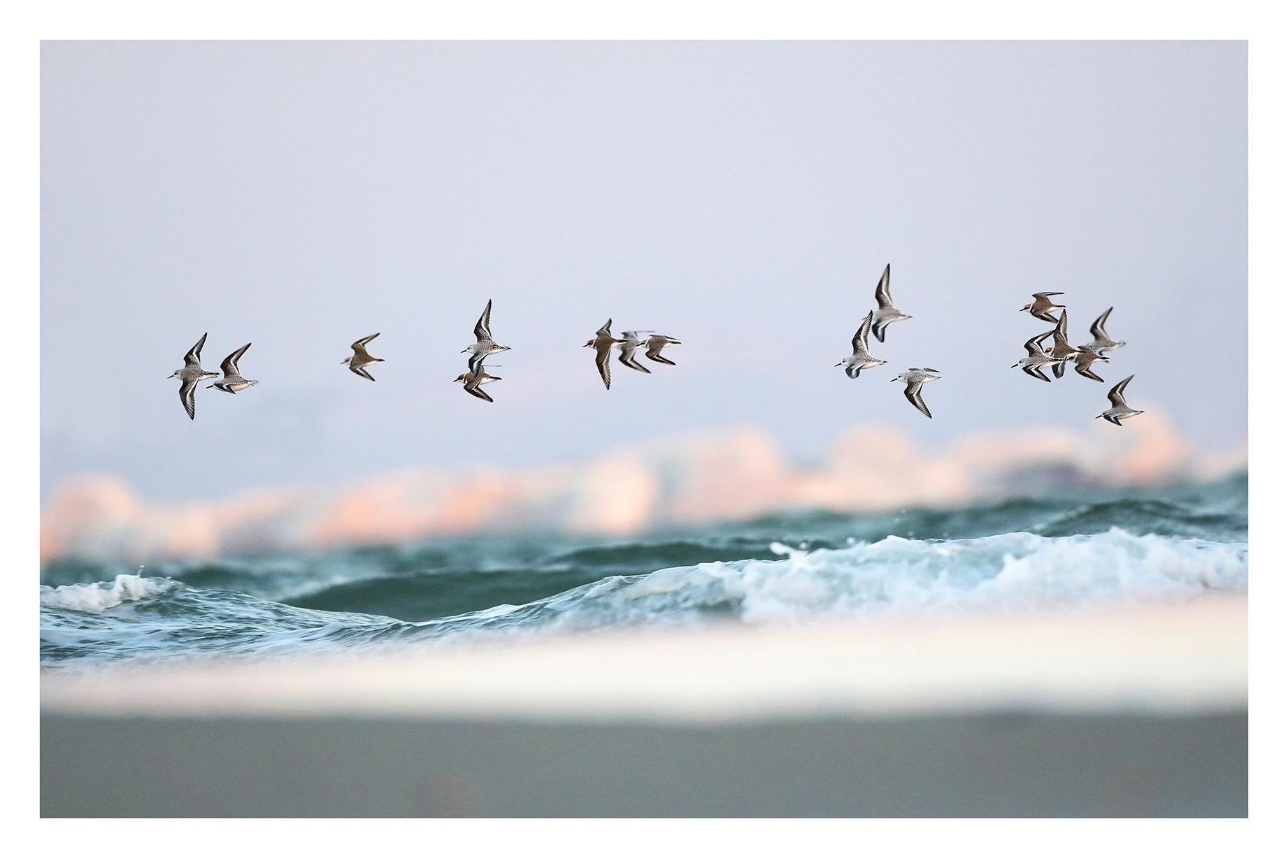 Vol de limicoles