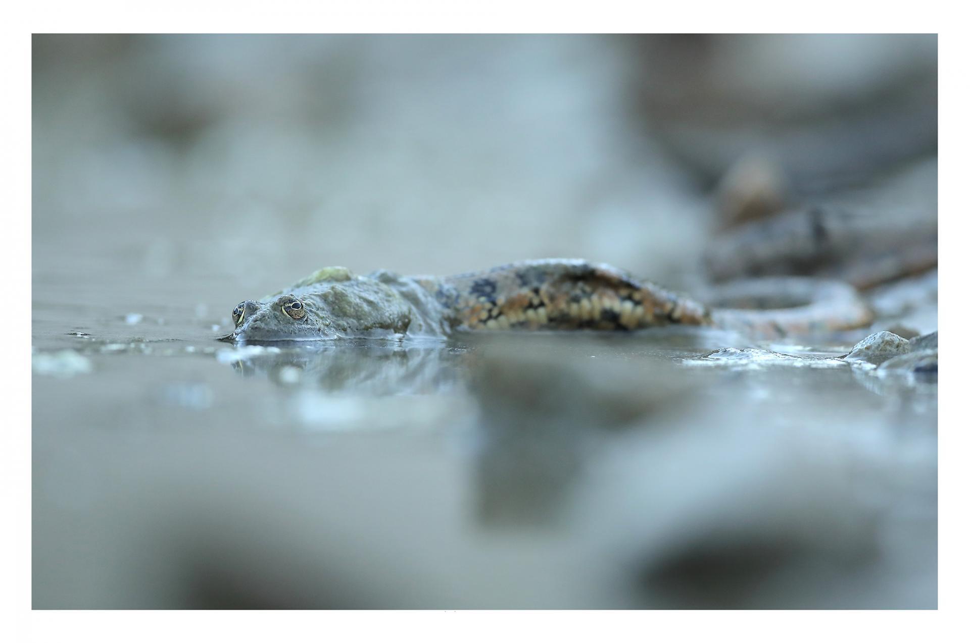 Grenouille vs couleuvre vipérine