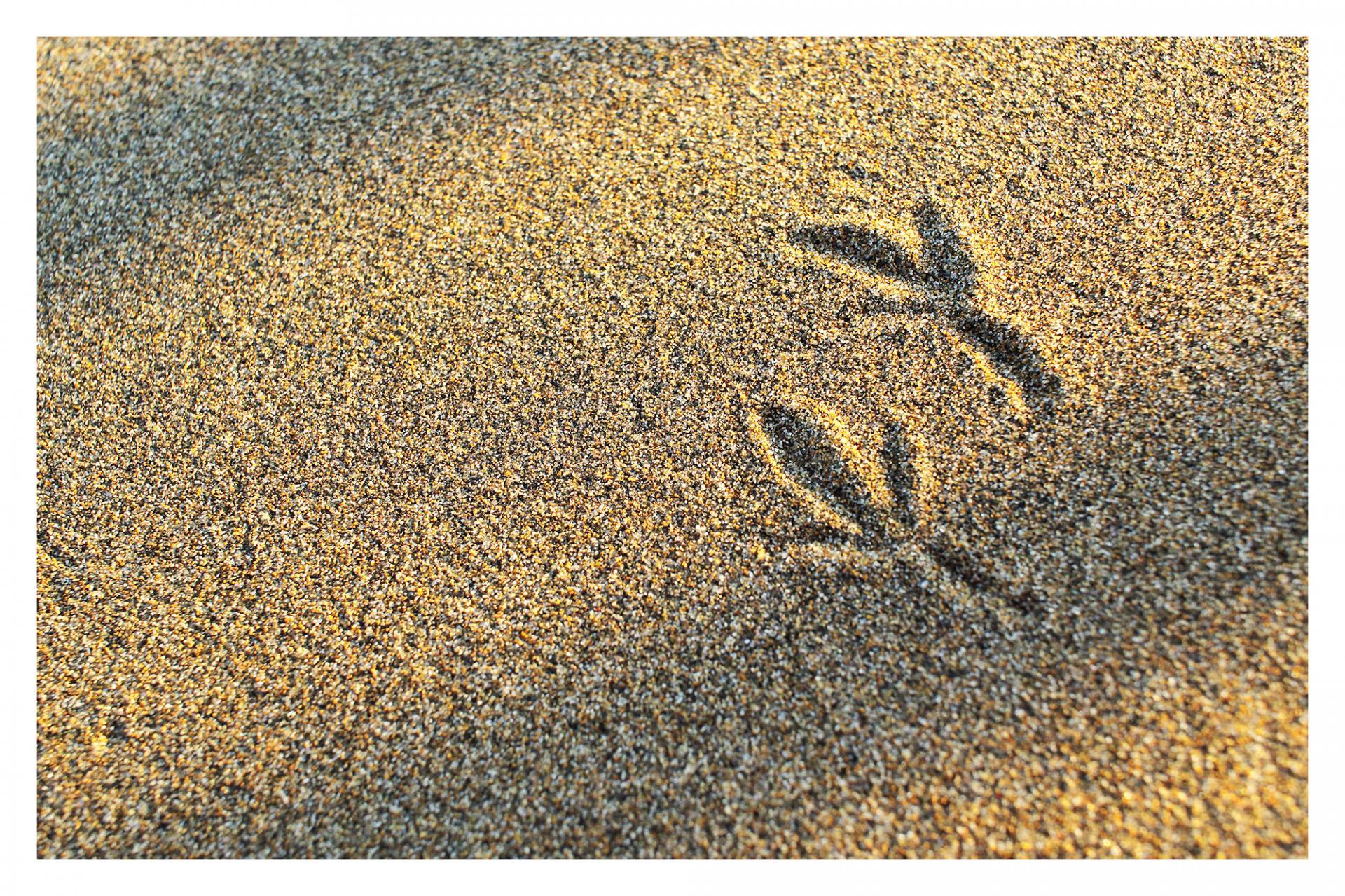 Traces de pas dans les dunes (alouette cochevis)