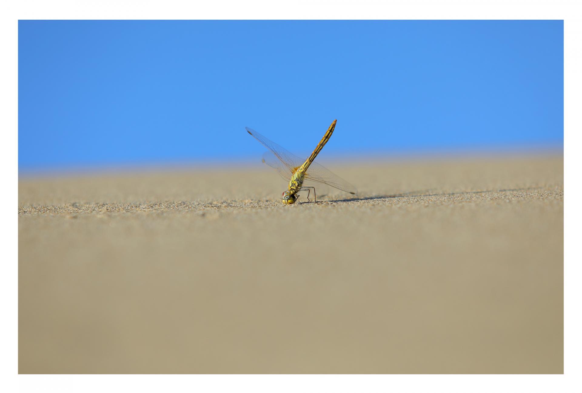 Libellule dans les dunes