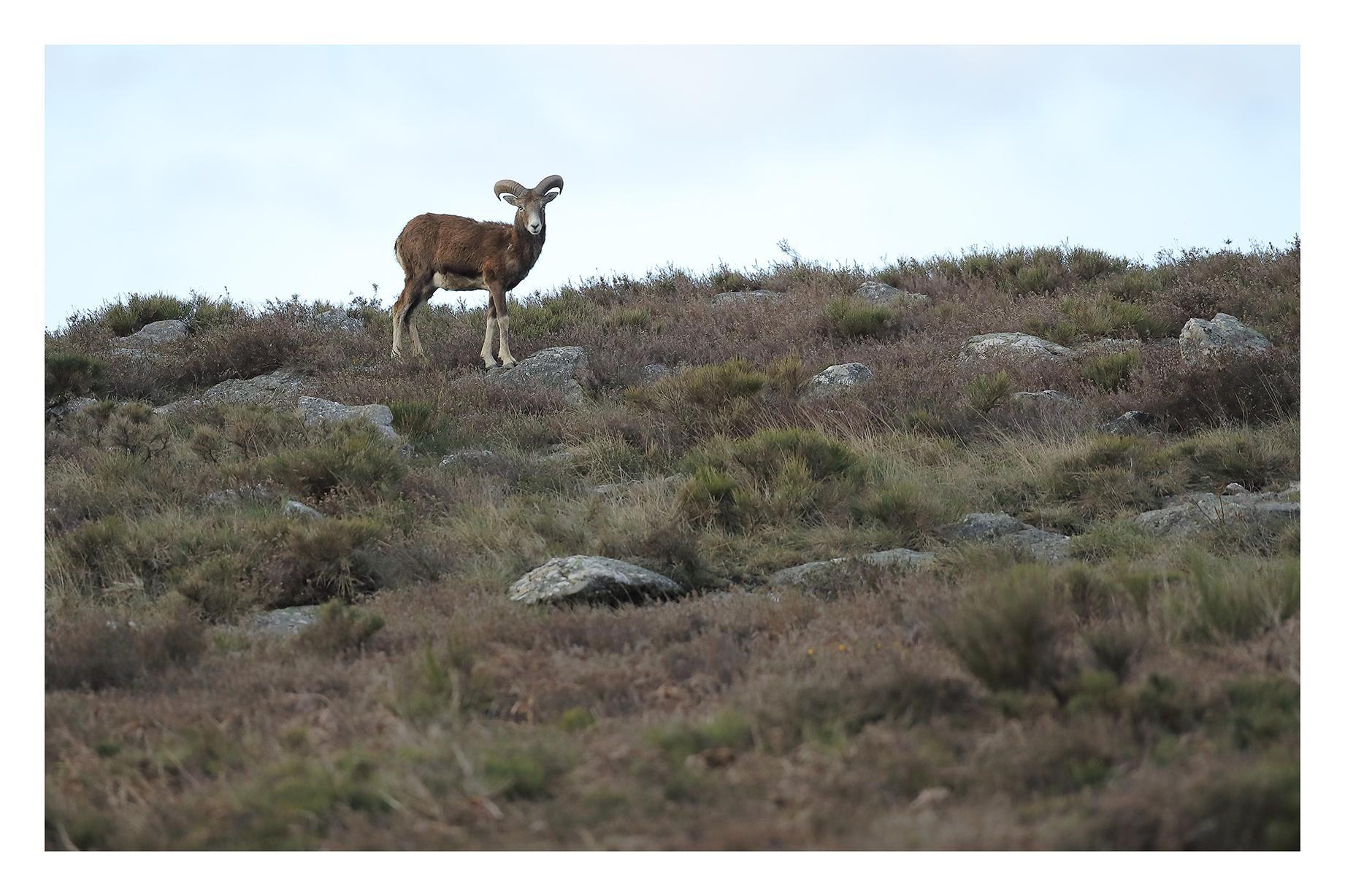 Le mouflon du Caroux