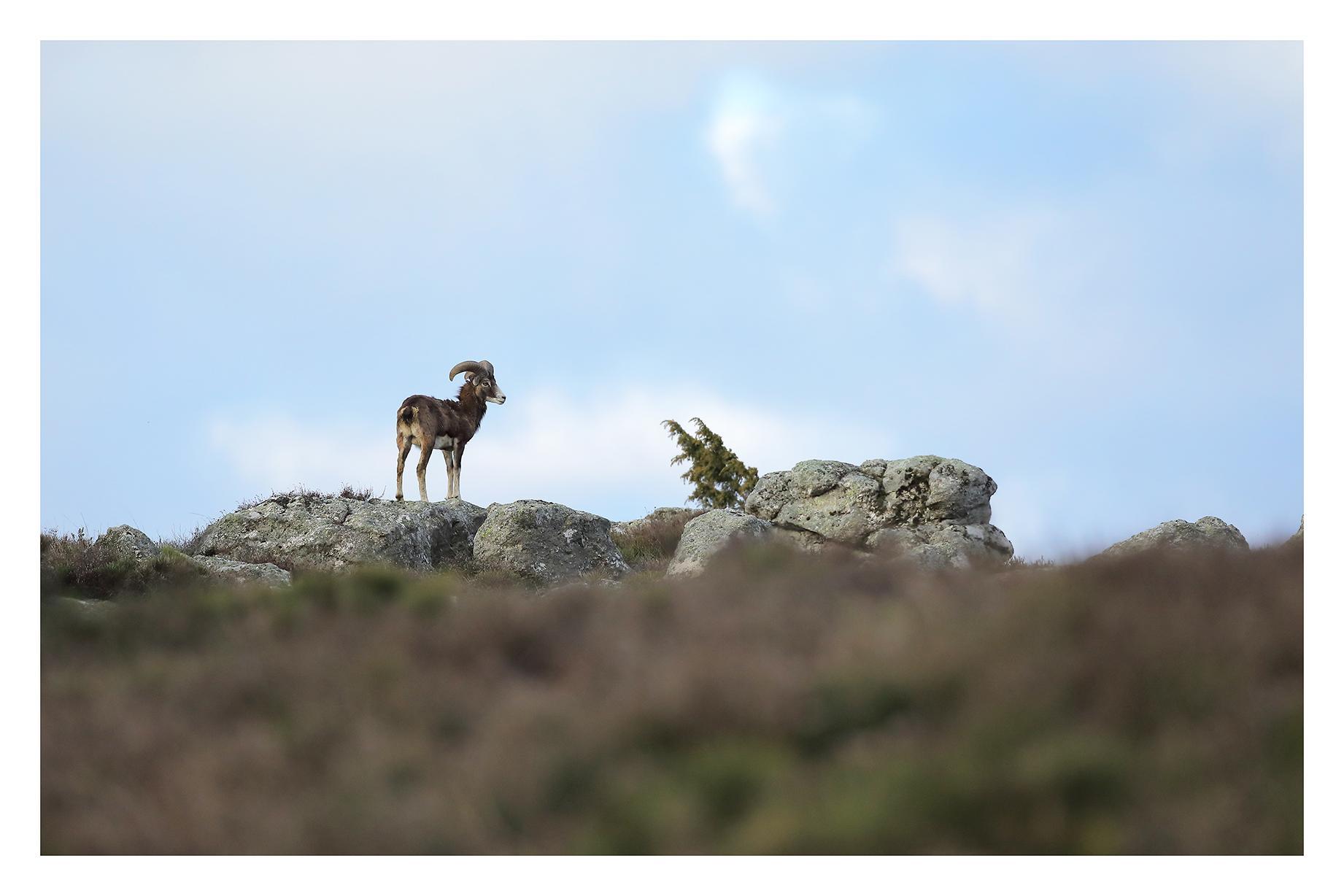 Mouflon du Caroux