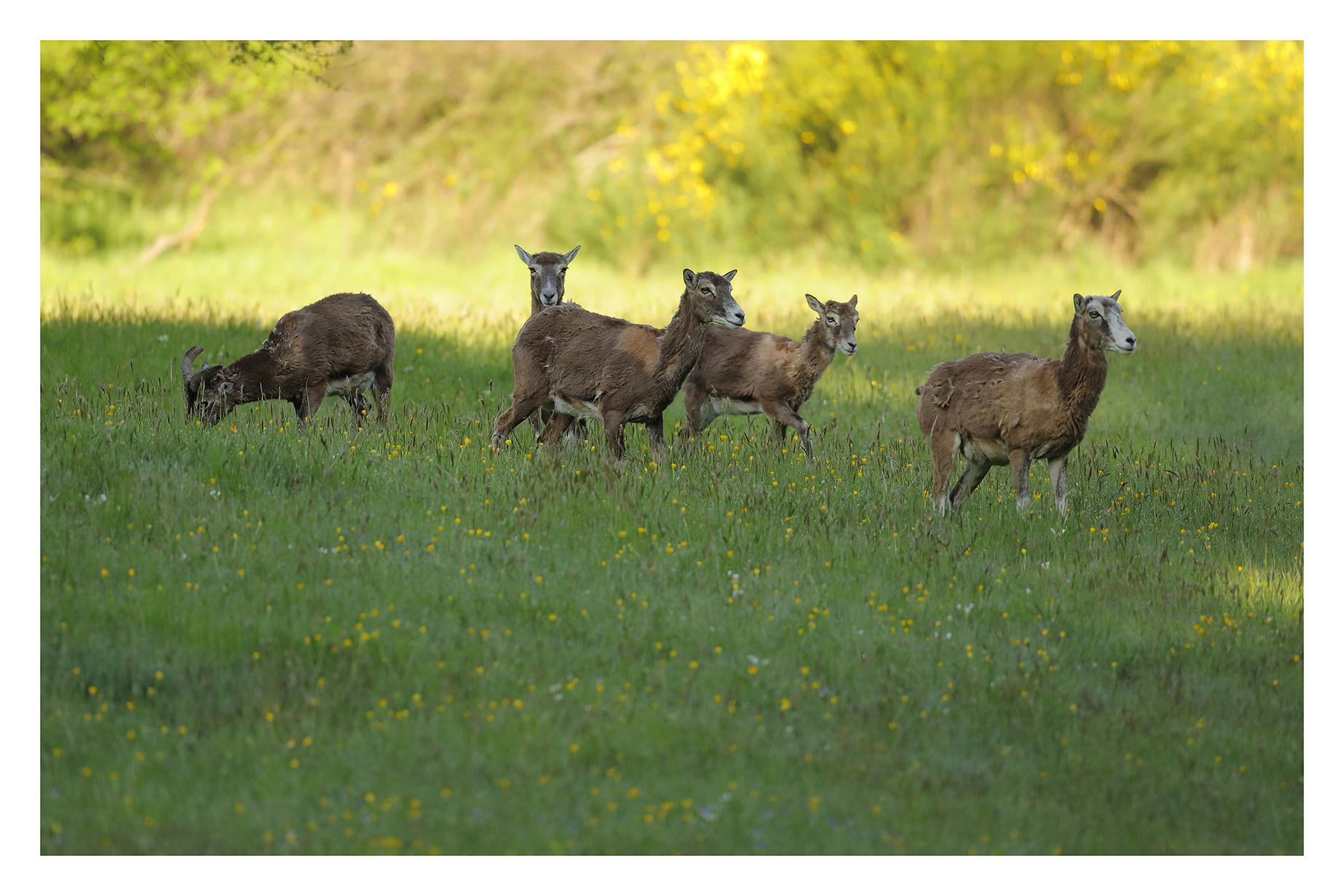 Mouflons du Caroux