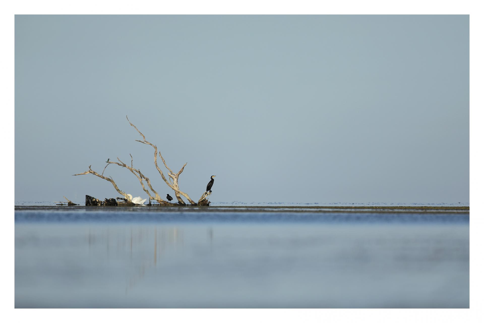 Grand cormoran  et martin pêcheur