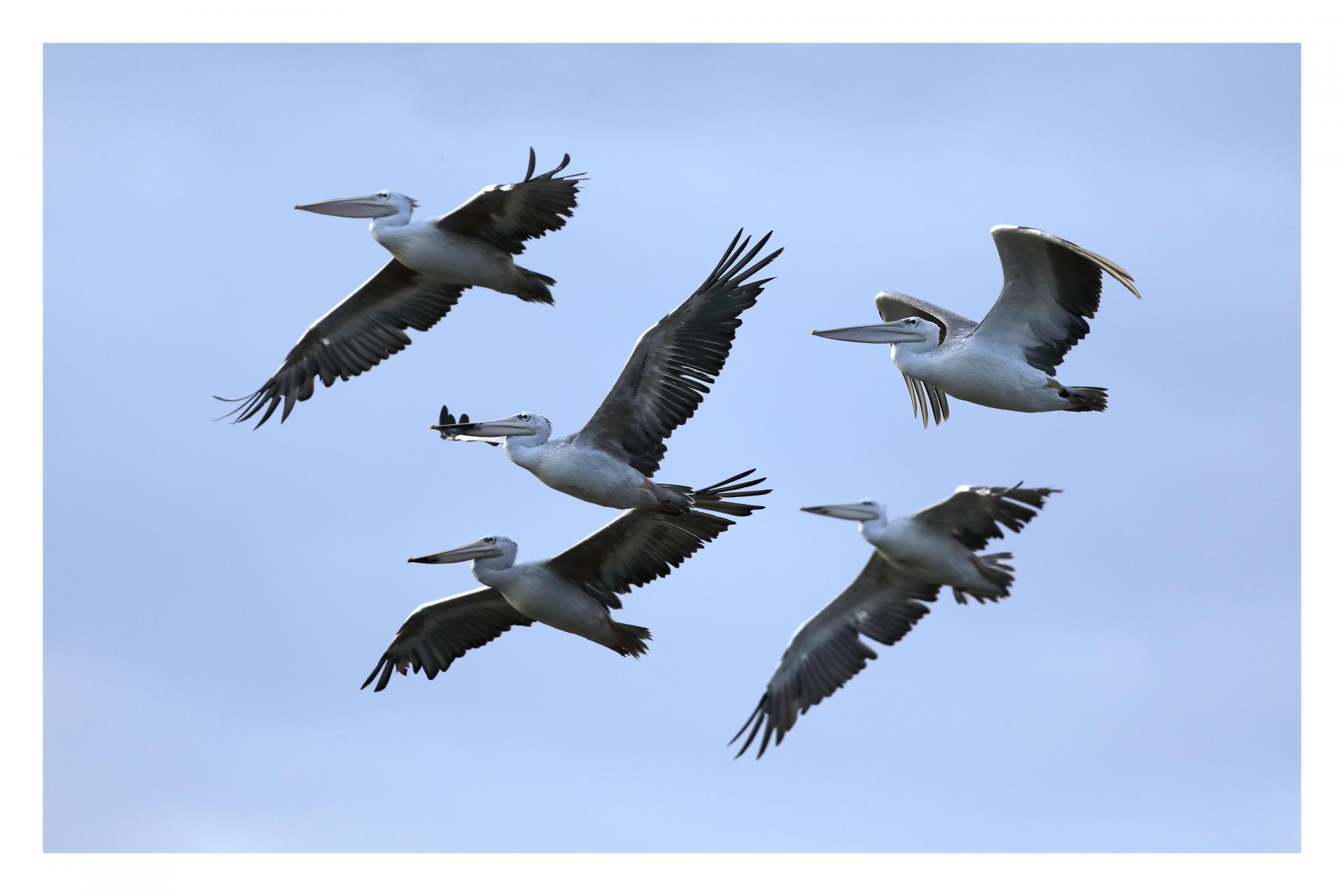 Pélicans gris en vol