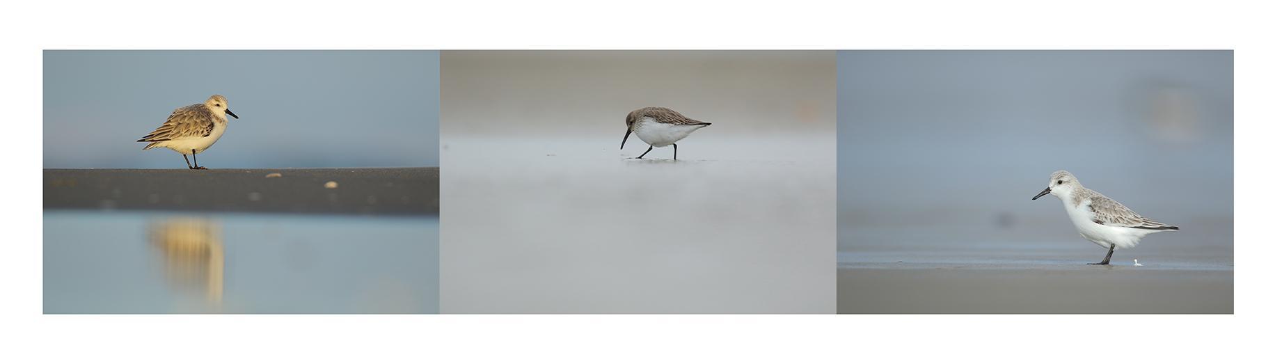Bécasseaux variable et sanderling